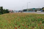 신풍면, 형형색색 관상용 양귀비꽃 만개 '눈길'